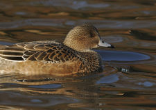 Female American Wigeon Stock Photography