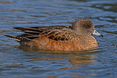 Female American Wigeon. A female American Wigeon coasting by on a New Mexico pond Royalty Free Stock Photography