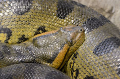Female anaconda2 Royalty Free Stock Images