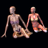 Female anatomy. 3d rendering of a seated female anatomy as illustration Royalty Free Stock Images