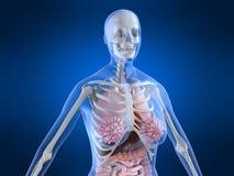 Female anatomy Stock Images