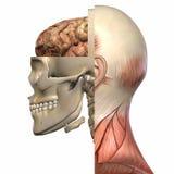 Female Anatomy Body stock illustration