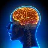 Female Anatomy Brain Full Royalty Free Stock Photos