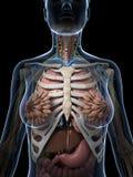 Female anatomy Stock Image