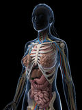 Female anatomy Stock Photos