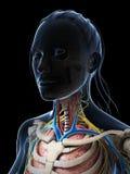 Female anatomy Royalty Free Stock Photos
