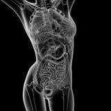 Female anatomy royalty free illustration