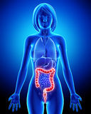 Female anatomy - digestive system Stock Photography