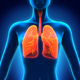 Female Anatomy of Human Respiratory System Stock Image