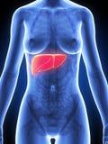 Female anatomy - liver Royalty Free Stock Photos