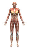 Female Anatomy Muscles - Anterior view Stock Images