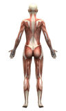 Female Anatomy Muscles - Posterior view. Female Anatomy Muscles - Anterior view - Human body Stock Photography