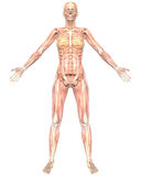 Female Anatomy Semi Transparent  Front View Stock Photo