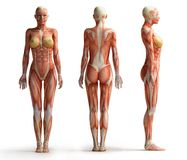 Female anatomy view. Front back and side female anatomy view Royalty Free Stock Photos