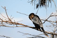 Female anhinga Stock Photo