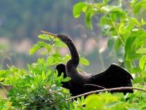 Female Anhinga Bird Royalty Free Stock Photography