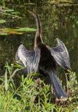 Female Anhinga Bird stock photo