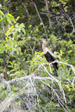 Female anhinga bird. Stock Photos