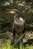 Female Anhinga Bird Sat on Wooden Stump Royalty Free Stock Image