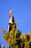 Female anhinga blue sky Royalty Free Stock Photography