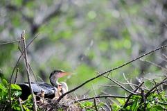 Female anhinga & chicks in nest Royalty Free Stock Photo