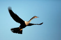Female Anhinga In Flight Royalty Free Stock Image