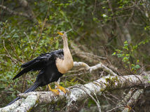 Female Anhinga Flight Ready Royalty Free Stock Photo
