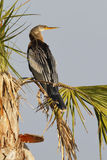 Female Anhinga perched in a palm tree - Melbourne, Florida Stock Photos