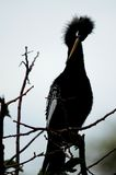 Female Anhinga preening in Wakodahatchee Wetlands Royalty Free Stock Photography