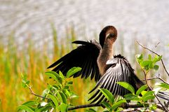 Female Anhinga preening in wetlands Royalty Free Stock Photos