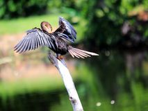 Female anhinga preening in wetlands in Florida Stock Images