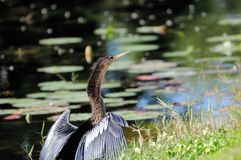 Anhinga drying feathers Stock Photo