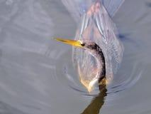 Female Anhinga swimming in wetlands Stock Images