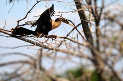 Female anhinga taking off Stock Photo