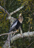 Female Anhinga Tree Perch royalty free stock photo