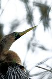 Female Anhinga in Wakodahatchee Wetlands Stock Images