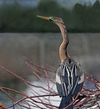 A female Anhinga Royalty Free Stock Photos