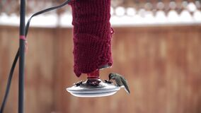 Female Anna`s Hummingbird feeding from red backyard feeder in wintertime