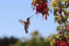 Female Anna`s hummingbird at Fuschia flowers. Hummingbird, female, Anna`s, hovering in front of Fuschia flowers for nectar royalty free stock photos