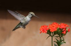 Annas Hummingbird feeding on Maltese Cross flowers. Female Annas Hummingbird feeding on Maltese Cross flowers Royalty Free Stock Photo