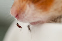 Female Anopheles mosquito sucking blood from mouse Royalty Free Stock Photos