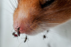 Female Anopheles mosquito sucking blood from mouse Royalty Free Stock Image