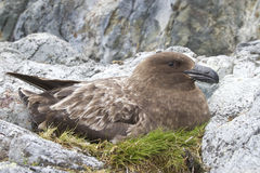 Female Antarctic or brown skua who sits on the eggs Royalty Free Stock Photos