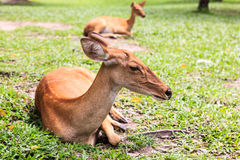Female antelope on ground in park Royalty Free Stock Image