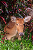 Female antelope on ground in park Stock Images