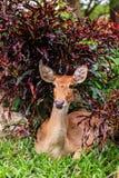 Female antelope on ground in park Stock Image