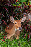 Female antelope on ground in park Royalty Free Stock Photo