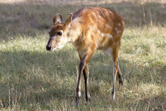Female antelope sitatunga sunny morning. Stock Images