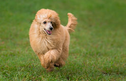 Female apricot poodle dog running. In a park Stock Image