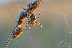 The female Araneus. Keeps signaling a thread of its web Royalty Free Stock Photo